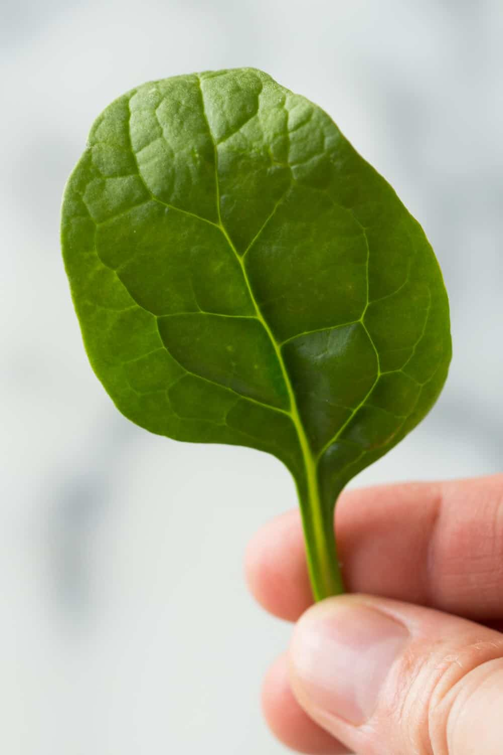 Close up of a hand holding a single baby spinach leaf.